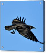 Crow Flyby Acrylic Print