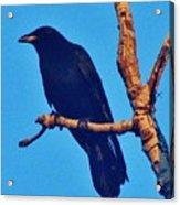 Crow In A Tree Acrylic Print