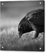 Crow In Grass Acrylic Print