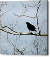 Crow In Sycamore Acrylic Print
