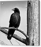 Crow On Branch Acrylic Print