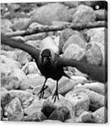 Crow Takes Off Acrylic Print