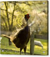 Crowing Acrylic Print