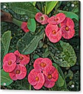 Crown Of Thorns Delight Acrylic Print
