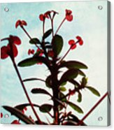 Crown Of Thorns Acrylic Print by Shawna Rowe