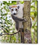 Crowned Lemur Madagascar Acrylic Print