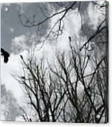 Crows In Cottonwoods Acrylic Print