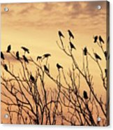 Crows In Their Twitter Cloud. Acrylic Print