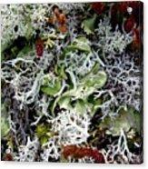 Crushed Lichen Acrylic Print