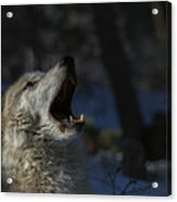 Cry In The Wild Acrylic Print