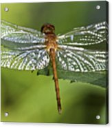 Crystal Wings Acrylic Print