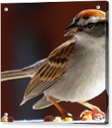 A Hungry Chipping Sparrow Acrylic Print