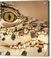 Cuban Croc Smile Acrylic Print