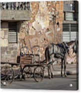 Cuban Horse Power FC Acrylic Print