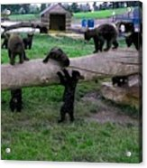 Cubs At The Playground Acrylic Print