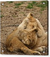 Cubs Wrestling Acrylic Print