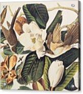 Cuckoo On Magnolia Grandiflora Acrylic Print