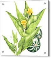 Cucurbita Foetidissima Acrylic Print
