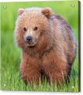 Cuddly Bear Cub Acrylic Print