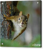 Curious Alaskan Red Squirrel Acrylic Print