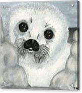 Curious Arctic Seal Pup Acrylic Print