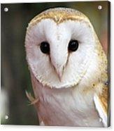 Curious Barn Owl Acrylic Print