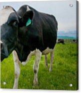 Curious Cow Acrylic Print