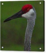Curious Crane 2 Acrylic Print