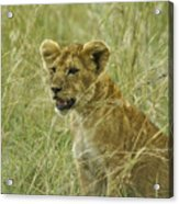Curious Cub Acrylic Print