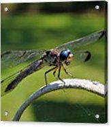 Curious Dragonfly Acrylic Print