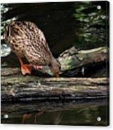 Curious Duck Acrylic Print