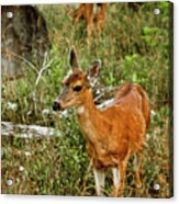 Curious Fawn In Grassy Meadow Acrylic Print by Christopher Kimmel