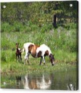 Curious Foal Acrylic Print