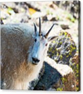 Curious Goat On The Mount Massive Summit Acrylic Print
