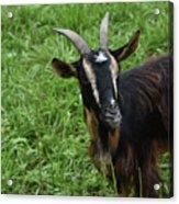 Curious Goat With Very Long Shaggy Fur Acrylic Print