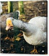 Curious Grey Goose Acrylic Print