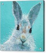 Curious Grey Rabbit Acrylic Print