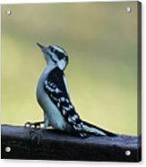 Curious Hairy Woodpecker Acrylic Print