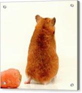 Curious Hamster 1 Acrylic Print