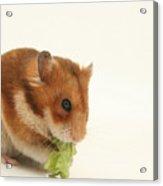 Curious Hamster Acrylic Print
