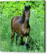 Curious Horse  Acrylic Print