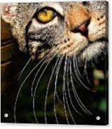 Curious Kitten Acrylic Print by Meirion Matthias