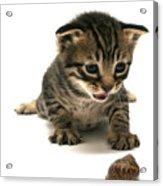 Curious  Kitten Acrylic Print