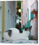 Curious Kitty Acrylic Print