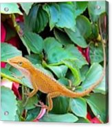 Curious Lizard Acrylic Print