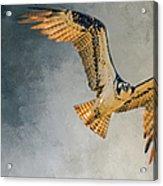 Curious Osprey Acrylic Print