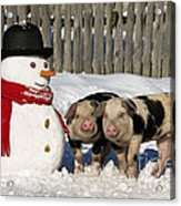 Curious Piglets And Snowman Acrylic Print