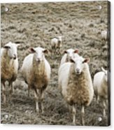 Curious Sheep Acrylic Print