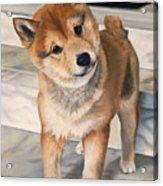 Curious Shiba Inu Acrylic Print