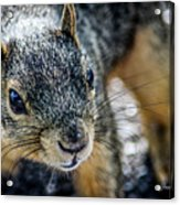 Curious Squirrel Acrylic Print